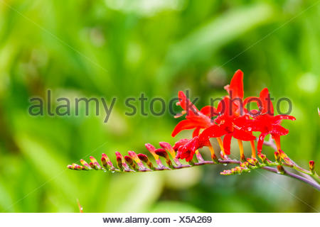 Montbretia, Crocosmia lucifer, - Stock Photo