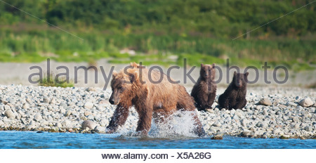 Brown Bear Sow And Cubs Fishing In Mikfik Creek, Mcneil River State Game Sanctuary, Southwest Alaska, Summer - Stock Photo