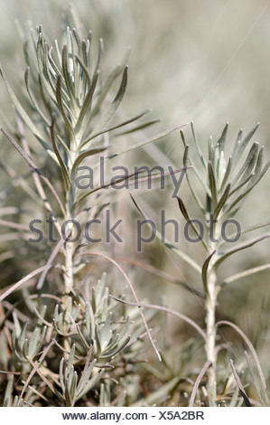 Curry plant or curry shrub (Helichrysum italicum) - Stock Photo