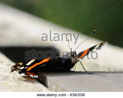 A common British red admiral butterfly showing its probosis - Stock Photo