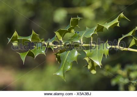 common holly, ilex aquifolium - Stock Photo