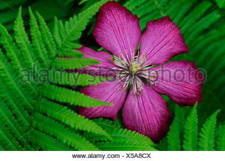 Clematis blossom (Clematis) with fern (Dryopteris) - Stock Photo