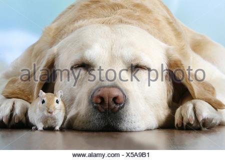 animal friendship: Labrador Retriever - sleeping with gerbil - Stock Photo