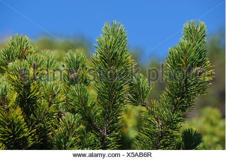 Mountain pine, Mugo pine (Pinus mugo), Untersberg, Groedig, Salzburg, Austria, Europe - Stock Photo