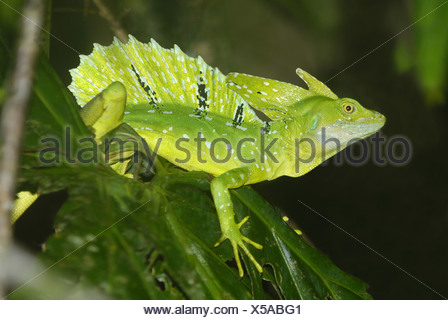 Plumed Basilisk (Basiliscus plumifrons) adult male climbing on leaves in primary rainforest Tortuguero N.P. Limon Province - Stock Photo