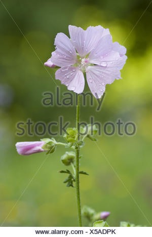 greater musk-mallow, malva alcea - Stock Photo