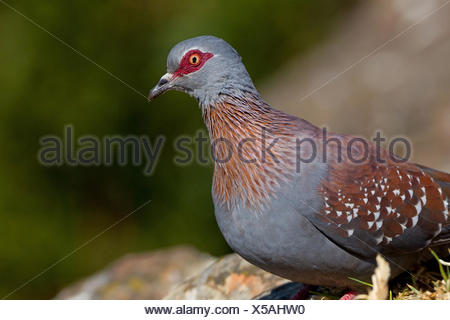 speckled pigeon (Columba guinea), portrait, South Africa, Kwazulu-Natal - Stock Photo