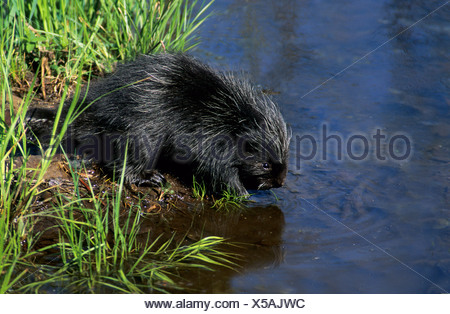 A month-old baby porcupine (Erethizon dorsatum) drinking from the edge of a pond.  Eastern USA. - Stock Photo