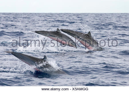 Group of Frasers Dolphins, Lagenodelphis hosei, Caribbean Sea, Dominica - Stock Photo