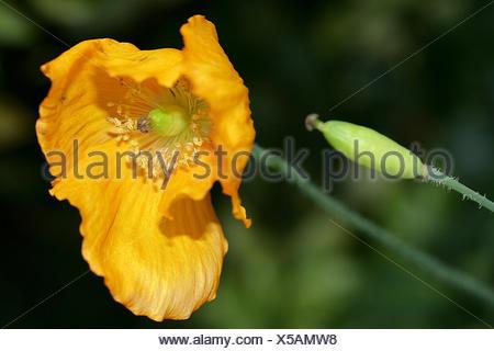 meconopsis cambrica - Stock Photo