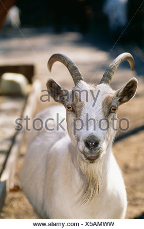 Close-up of goat - Stock Photo