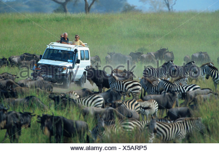 blue wildebeest, brindled gnu, white-bearded wildebeest (Connochaetes taurinus), migrating herd with zebras, watching by safari - Stock Photo