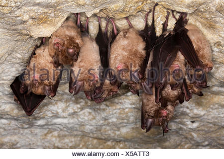 Greater Horsehoe Bat, rhinolophus ferrumequinum, Colony Hibernating in a Cave, Normandy - Stock Photo