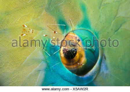 Commensal Shrimp on Parrotfish Eye, Periclimenes sp., Scarus sp., Nuweiba, Sinai, Red Sea, Egypt - Stock Photo
