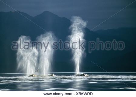 Humpback Whales blowing, Tenakee Inlet, Southeast Alaska - Stock Photo