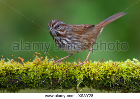Song sparrow (Melospiza melodia) perched on a moss covered branch in Victoria, Vancouver Island, British Columbia, Canada - Stock Photo