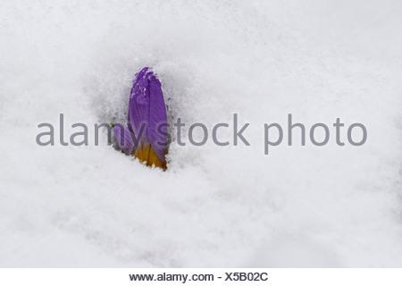 crocus (Crocus spec.), crocus flower in snow - Stock Photo