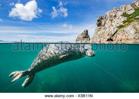 Young grey seal (Halichoerus grypus) swimming at surface beneath cliffs of Lundy Island, Devon, England, United Kingdom. British Isles. Bristol Channel. North East Altantic Ocean. - Stock Photo