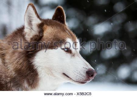 Husky with blue eyes, sledge dog, Unterjoch, Allgaeu, Bavaria, Germany - Stock Photo