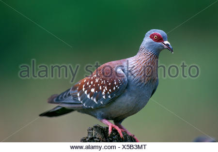 Speckled pigeon, columba guinea, Adult, South Africa - Stock Photo