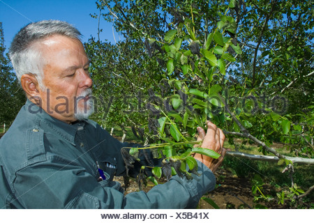 A walnut grower inspects the damage to his walnut tree caused by a heavy unusual Spring freeze / Los Molinos, California, USA.