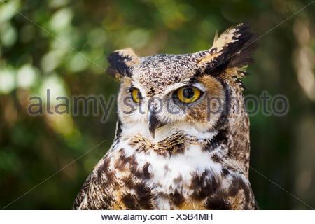 Portrait of Great horned owl (Bubo virginianus)