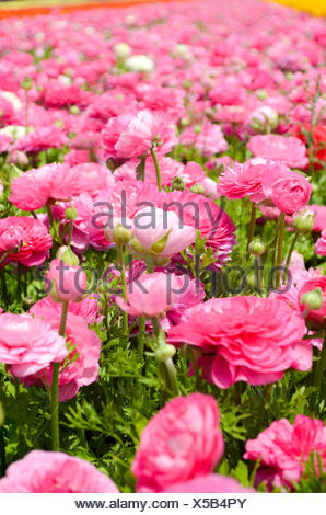 A field of pink cultivated Buttercup (Ranunculus) flowers for export to Europe. Photographed in Israel Northern Negev - Stock Photo