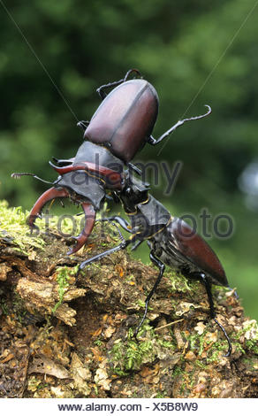 Stag Beetles - Lucanus cervus - Stock Photo