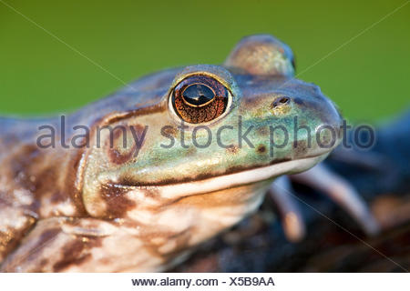 portret of a North American Bullfrog - Stock Photo