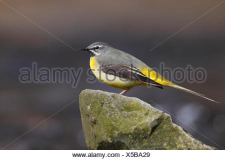 Grey Wagtail (Motacilla cinerea), male sitting on a stone - Stock Photo