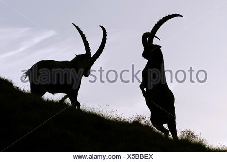 Fighting Alpine Ibex (Capra ibex) in backlight, High Tauern National Park, Carinthia, Austria - Stock Photo