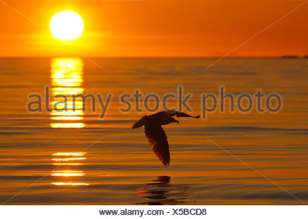 Herring Gull (Larus argentatus) flying after sunset in a fjord in Norway - Stock Photo