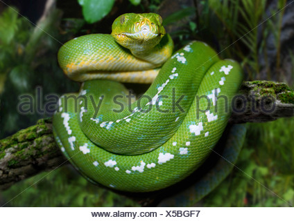 Emerald tree boa (Corallus caninus), rolled up on a branch - Stock Photo