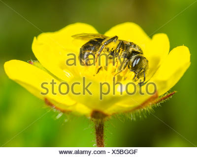 Sandwespe, Sand-Wespe, Andrena falsifica (Andrena falsifica), Weibchen bei der Nahrungsaufnahme auf der Bluete des Sand-Fingerkr - Stock Photo
