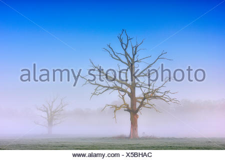 Dead solitary oaks (Quercus robur) in dense morning fog, Middle Elbe Biosphere Reserve, near Dessau, Saxony-Anhalt, Germany - Stock Photo