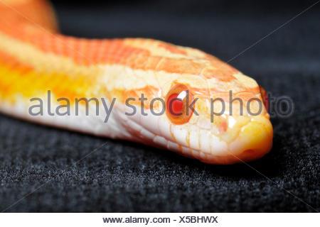 Red Rat Snake, amelanistic / (Pantherophis guttatus, Coluber guttatus, Elaphe guttata) - Stock Photo