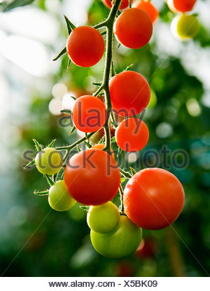Ripening tomatoes on the stem - Stock Photo