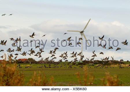 barnacle goose (Branta leucopsis), flock taking off in marsh landscape with a windmill, Germany, Lower Saxony, East Frisia, Westermarsch - Stock Photo