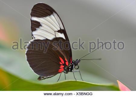 Sapho Longwing (Heliconius sapho), State Garden Show, Papenburg, Emsland, Lower Saxony, Germany - Stock Photo