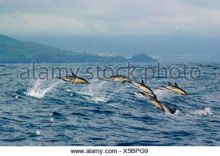common dolphin, short-beaked Common Dolphin, saddleback(ed) dolphin, crisscross dolphin (Delphinus delphis), school jumping out of the water with high speed, in the Background  Faial with Horta, Portugal, Azores, Pico - Stock Photo