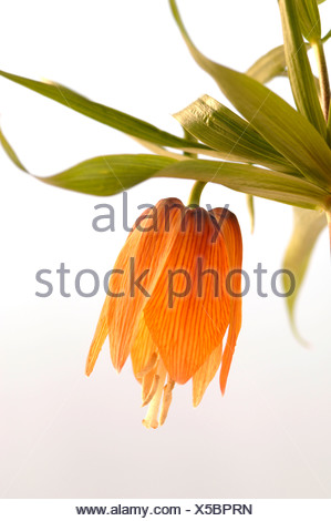 Crown Imperial (Fritillaria imperialis) - Stock Photo