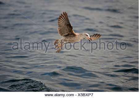 Cape Gull (Larus Larus dominicanus Vetula or Vetula) in juvenile plumage, False Bay, Western Cape, South Africa, Africa - Stock Photo