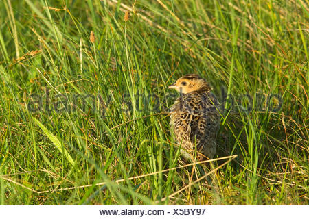 common pheasant, Caucasus Pheasant, Caucasian Pheasant (Phasianus colchicus), chick in a meadow, Germany, North Rhine-Westphalia - Stock Photo