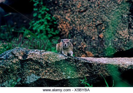 small-toothed rock hyrax (Heterohyrax brucei), sitting on the rock shore of a water - Stock Photo