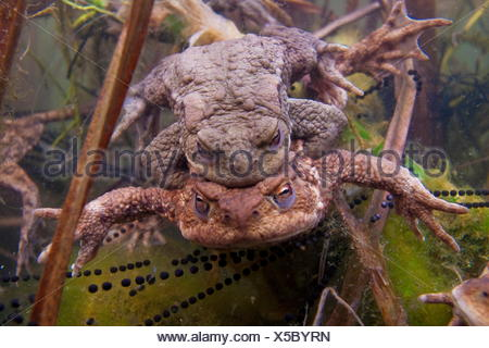 common toad, pairing, spwan, Germany / (Bufo bufo) - Stock Photo