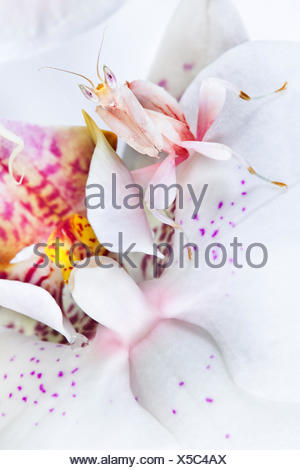 Malaysian Orchid Mantis (Hymenopus coronatus) white colour morph camouflaged on an orchid. Captive. Originating Malaysia. - Stock Photo