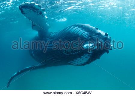 Humpback Whale, Megaptera novaeangliae, Hallaniyat Islands, Arabian Sea, Oman - Stock Photo