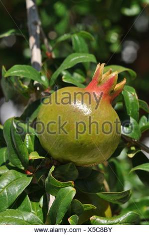 Pomegranate fruit growing on a tree (Punica granatum), Crete, Greece, Europe - Stock Photo