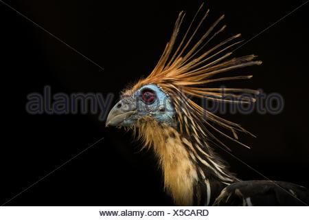 Portrait of an Hoatzin, Opisthocomus hoazin, also known as the stinkbird, or Canje pheasant. - Stock Photo
