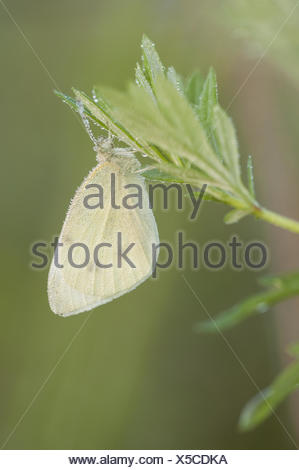 Small White (Pieris rapae), Germany - Stock Photo